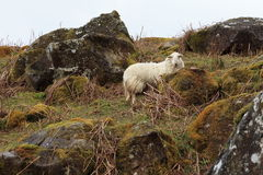 Cadair Idris Sheep Stockbild