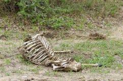 Cadaver of antelope Stock Photo