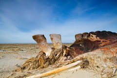 Cadaver of a Whale on a beach Stock Images