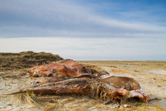 Cadaver of a Whale on a beach Stock Image
