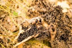 Cadavre décomposé de la bête en nature image stock