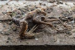 Cadavre momifié de pigeon urbain Photo stock