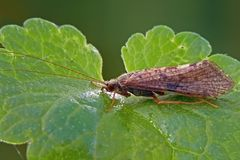 Caddisfly. Caddisflies, also called sedge-flies or rail-flies, are small moth-like insects having two pairs of hairy membranous wings royalty free stock photography