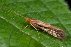 Caddisfly Stock Photos
