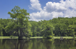 Caddo cypress Royaltyfria Bilder