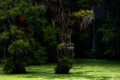 Caddo Lake Lousiana Royalty Free Stock Photo