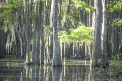 Caddo Swamp 1 Royalty Free Stock Image