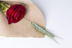 Cadeau d'amour de rose de rouge d'isolement sur un fond blanc Photos stock