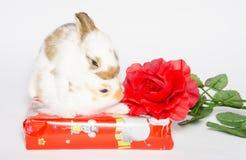 Cadeau d'anniversaire avec deux lapins de bébé photographie stock