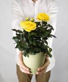 cadeau pour des vacances - pot de fleur avec les roses jaunes Photo stock