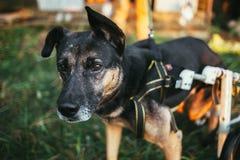 Cadeira de rodas do cão fotografia de stock royalty free