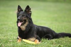 Cadela bonita do pastor boêmio com um brinquedo imagem de stock