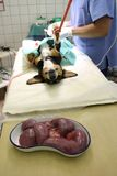 Cadela com piometria na anestesia foto de stock royalty free