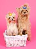 Cadela da menina de dois filhotes de cachorro e macho do menino Foto de Stock Royalty Free