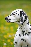 Cadela Dalmatian que senta-se no prado de florescência imagens de stock