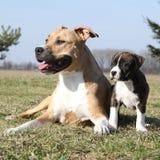Cadela de surpresa de Stafford com seu cachorrinho imagem de stock royalty free