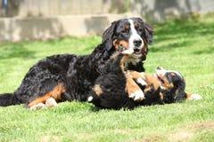 Cadela do cão de montanha de Bernese que joga com filhote de cachorro fotos de stock