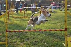 A cadela do lebreiro está saltando fotos de stock royalty free