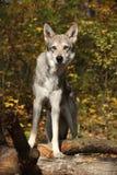 Wolfhound de Saarloos Foto de Stock Royalty Free