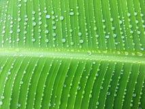 Cadena de las gotas de agua en la hoja del plátano, vagos tropicales abstractos del verdor Fotografía de archivo