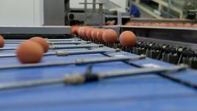 Cadena de producción de niveles múltiples del HUEVO cadena de producción del transportador de los huevos del pollo de una granja  metrajes