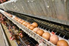 Cadena de producción de niveles múltiples cadena de producción del transportador de los huevos del pollo de una granja avícola foto de archivo libre de regalías