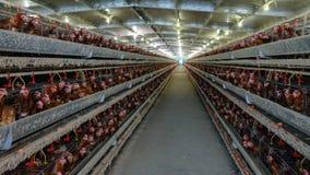 Cadena de producción de niveles múltiples cadena de producción del transportador de los huevos del pollo de una granja avícola fotos de archivo