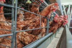 Cadena de producción de niveles múltiples cadena de producción del transportador de los huevos del pollo de una granja avícola fotografía de archivo libre de regalías