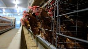 Cadena de producción de niveles múltiples de la capa cadena de producción del transportador de los huevos del pollo de una granja almacen de metraje de vídeo