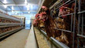 Cadena de producción de niveles múltiples de la capa cadena de producción del transportador de los huevos del pollo de una granja metrajes