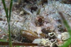 Cadenat rockfish Stock Photography