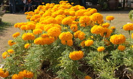 Cadendura blomma Royaltyfri Foto