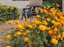 Cadendura blomma Arkivbilder