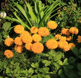 Cadendura kwiat Fotografia Royalty Free