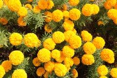 Cadendura kwiat Fotografia Stock