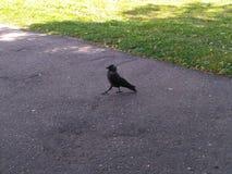 Cadenza importante dell'uccello nero e grigio sulla strada fotografie stock libere da diritti