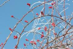 Cadera color de rosa salvaje Foto de archivo
