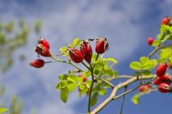 Cadera color de rosa salvaje en el otoño Fotografía de archivo libre de regalías