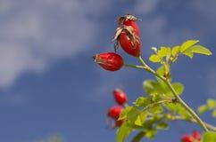 Cadera color de rosa salvaje en el otoño Fotografía de archivo