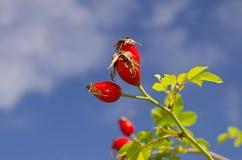 Cadera color de rosa salvaje en el otoño Foto de archivo libre de regalías