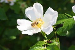 Cadera de Rose Fotos de archivo