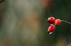 Cadera de Rose con las gotas de agua Foto de archivo libre de regalías
