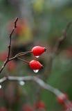 Cadera de Rose con las gotas de agua Foto de archivo
