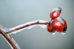 Cadera de Rose en invierno. fotografía de archivo