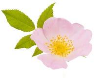 Caderas de la flor aisladas Imagen de archivo