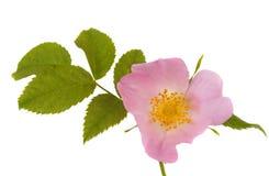 Caderas de la flor aisladas Fotografía de archivo libre de regalías