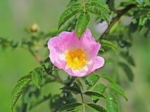 Caderas Rose Flower en el sol Una flor azul en gotitas del rocío en un fondo verde borroso Plantas de los prados de la región w Imagen de archivo