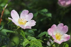 Caderas Rose Flower en el sol Una flor azul en gotitas del rocío en un fondo verde borroso Plantas de los prados de la región w Imágenes de archivo libres de regalías