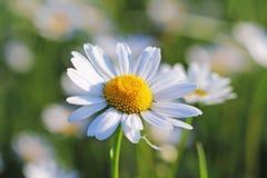 Caderas Rose Flower en el sol Una flor azul en gotitas del rocío en un fondo verde borroso Plantas de los prados de la región w Fotos de archivo libres de regalías