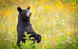 Cades Cove Black Bear. Black Bear in Cades Cove, Tennessee in Smoky Mountain National Park standing in spring flowers royalty free stock images